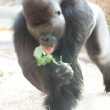 Gorilla in the aviary — Stock Photo