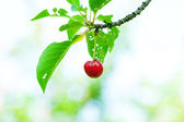 Cherry on the tree — 图库照片