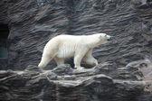 Eisbär auf dem felsen — Stockfoto
