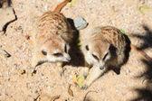 坐在沙滩上的 surikata — 图库照片