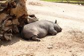 Sleeping peccary — Stock Photo