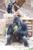 Gorilla in the aviary — Stock Photo