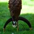 Stock Photo: Eagle on a background of green grass