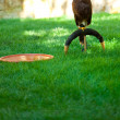 Eagle on a background of green grass — Stock Photo