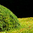 Background of the trimmed bushes — Stock Photo