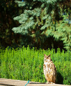 Owl on a background of green grass — Stock Photo