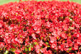 Red flowers on a background of green grass in the park — Stock Photo
