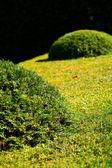 фон подстриженные кусты — Стоковое фото