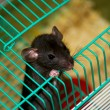 Home rat looking out of the cage — Foto de Stock