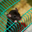 Home rat looking out of the cage — Foto Stock