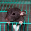 Home rat looking out of the cage — Stock Photo #6011886