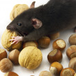 Domestic rat and nuts isolated on white — Stock Photo