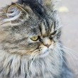 Persian cat sitting on the street — Stock Photo
