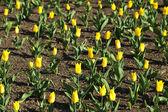 Field of yellow tulips — Stock Photo