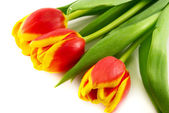 Red tulip isolated on white — Stock Photo