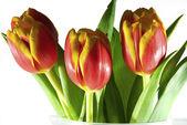 Tulipanes aislados en blanco — Foto de Stock