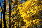 Yellow leaves against the blue sky — Stock Photo