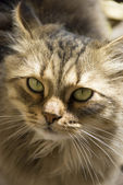 Portrait of a beautiful Siberian cat — Stock Photo
