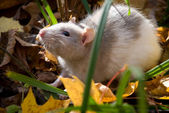Domestic rat in the woods — Stock Photo