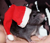 Domestic rat in a hat of Santa Claus — Stock Photo