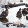 Ducks on the water — Stock Photo #6059133