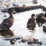 Ducks on the water — Stock Photo