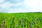 Green Grass and sky with clouds — Stock Photo