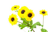 Yellow wild flowers isolated on white — Stock Photo