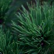 Background of spruce — Stock Photo