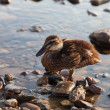 Ducks on the water — Stock Photo