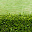 Background of green shrubs — Stock Photo