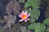 Beautiful lily flower on the water — Stock Photo