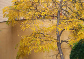 Yellow autumn tree near the wall — Stock Photo