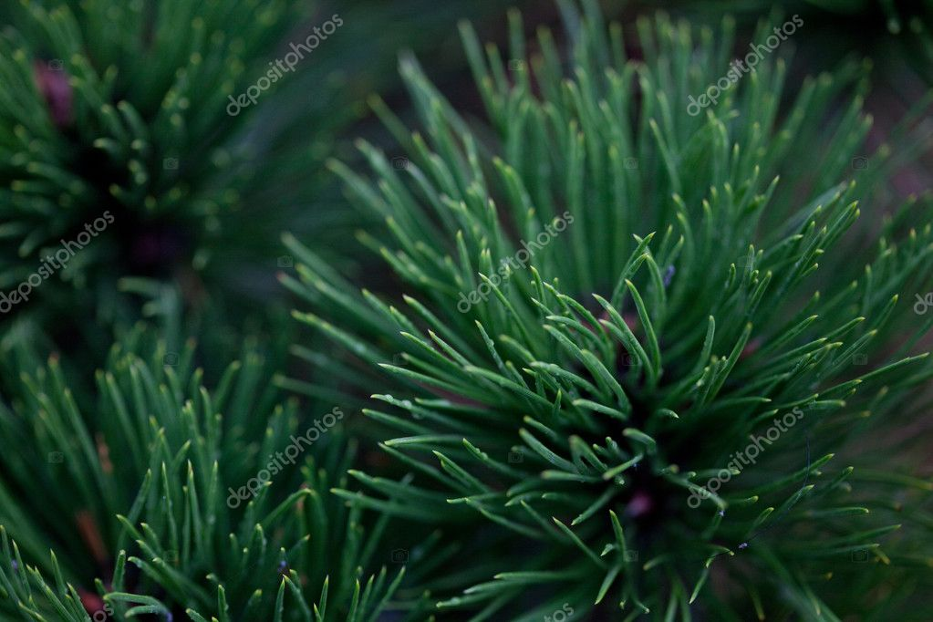 Background of spruce  Stock Photo #6061824