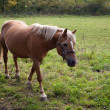 Horse walking in a field — Foto Stock