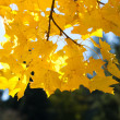 Yellow autumn maple leaves against the blue sky — Stock Photo #6072251