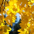 Yellow autumn maple leaves against the blue sky — Stock Photo