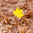 Yellow maple leaf on a background of oak autumn leaves — Stock Photo #6074508