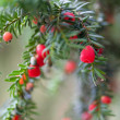 Red berries on branches of spruce — Stockfoto