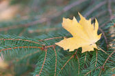 Yellow maple leaf on the branches of fir — Stock Photo