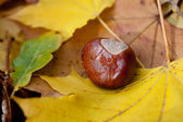 Chestnut lying on yellow autumn leaves — Stock Photo