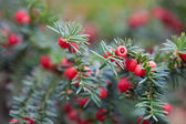 Red berries on branches of spruce — Stock Photo