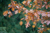 Autumn oak leaves on the trees — Stock Photo
