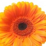 An orange gerbera flower isolated on white — Stock Photo #6118273