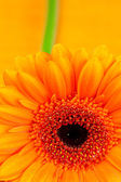 Gerbera flower lying on the orange fabric — Stock Photo