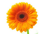 An orange gerbera flower isolated on white — Stock Photo