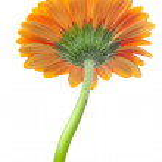 An orange gerbera flower isolated on white — Stock Photo #6122800