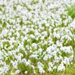 Background of blue snowdrops in the green grass — Stock Photo