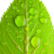 Close-up of green leaves with large drops of water — Stock Photo