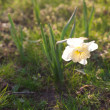 Beautiful narcissus in the park — Stockfoto